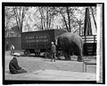"""Nellie"" pet of Johnny J. Jones Circus, 4-22-25 LCCN2016839673.jpg"