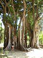 """"""" 10 - ITALY - Ficus Macrophylla dell'orto botanico di Palermo, l'albero più grande d'Europa ( the biggest tree of Europe).JPG"""