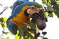"""arara-canindé"" - Ara ararauna - se alimentando de frutos e sementes de jatobá - Hymenaea courbaril 09.jpg"