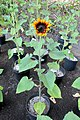 'Firecracker' sunflower IMG 5461.jpg