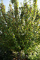'Malus baccata' Siberian Crabapple Capel Manor College Gardens Enfield London England.jpg