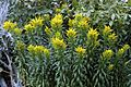 'Solidago' Solidaster or Goldenrod in the West Garden, Hatfield House, Hertfordshire, England.jpg