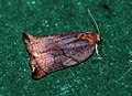 (0977) Large Fruit-tree Tortrix Archips podana (4750208402).jpg