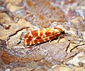 (1211) Rhyacionia pinicolana (35827009111).jpg