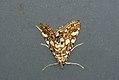 (1345) Brown China-mark (Elophila nymphaeata) (3822299701).jpg