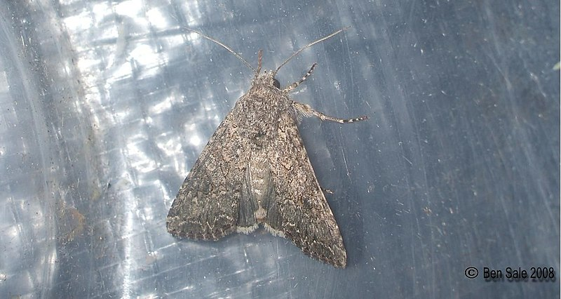 File:(2154) Cabbage Moth (Mamestra brassicae) (3209449176).jpg
