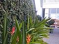 (Arya) Ficus pumila in front of hotel citradream Cirebon 2019 2.jpg