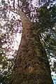 Árvore centenária no Parque do Ibirapuera.jpg