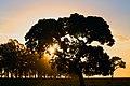 Árvore no Cerrado do Mato grosso.jpg