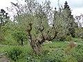 Ölbaum im Bibelgarten Flottbek.jpg