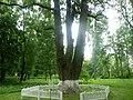 Багатовіковий дуб «Три брати», Прилуцький район, сел. Линовиця 74-241-5027 05.jpg