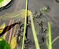 Голосіївський парк імені Максима Рильського Червоноочка зелена відкладає яйця DSC 01251.jpg