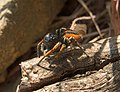 Паук-скакунчик Philaeus chrysops Beautiful Jumper (41091013414).jpg