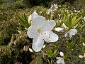 Рододендрон Шлиппенбаха, белоцветковая форма (1).jpg