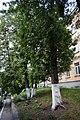 Туя західна (біогрупа), м. Кам'янець-Подільський 68-104-5056.jpg