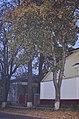 Тюльпанове дерево у Кам'янець-Подільському. Фото 3.jpg