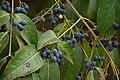 കരിവെട്ടി-കായ Olea dioica.jpg