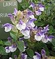 仰臥黃芩 Scutellaria alpina v supina -哥本哈根大學植物園 Copenhagen University Botanical Garden- (37082436605).jpg