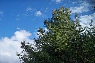 <i>Pinus morrisonicola</i> Species of conifer