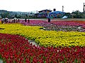 富里花海 Fuli Flower Carpet - panoramio.jpg