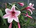 文殊蘭屬 Crinum bulbispermum -哥本哈根大學植物園 Copenhagen University Botanical Garden- (36816161921).jpg