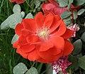 月季-桔紅潮 Rosa chinensis -瀋陽世博園 Shenyang Expo Gardens, China- (11237610373).jpg