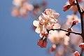桜 - Flickr - iyoupapa.jpg