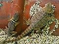 環頸蜥與鬃獅蜥 Crotaphytus collaris ^ Pogona vitrticeps - panoramio.jpg