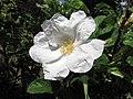 白花單瓣玫瑰 Rosa rugosa f alba -波蘭華沙 Powsin PAN Botanical Garden, Warsaw- (36488311011).jpg