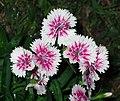石竹 Dianthus chinensis -香港沙田中央公園 Shatin Central Park, Hong Kong- (9450764160).jpg