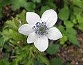 草玉梅 Anemone rivularis -哥本哈根大學植物園 Copenhagen University Botanical Garden- (36816160581).jpg