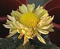 菊花-流美 Chrysanthemum morifolium -中山小欖菊花會 Xiaolan Chrysanthemum Show, China- (11994569745).jpg