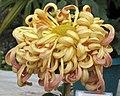 菊花-翠風雲天 Chrysanthemum morifolium -香港圓玄學院 Hong Kong Yuen Yuen Institute- (12064620845).jpg