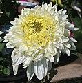 菊花-芙蓉托桂 Chrysanthemum morifolium 'Lotus Cradling Stamens' -香港雲泉仙館 Ping Che, Hong Kong- (12065010754).jpg