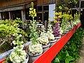葉牡丹 Ornamental Cabbage - panoramio.jpg