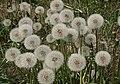 蒲公英 Taraxicum sp. - panoramio.jpg