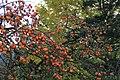 豊英の柿 - panoramio.jpg