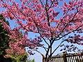 阿里山櫻花 Alishan Cherry Blossoms - panoramio (1).jpg