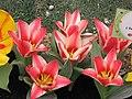 鬱金香 Tulipa gesneriana -香港花展 Hong Kong Flower Show- (9207640720).jpg