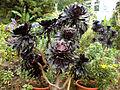 00479 - Aeonium arboreum.JPG