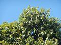 04544jfDiospyros blancoi Dampol Rueda Plaridel Pungo Calumpit Bulacanfvf 06.jpg
