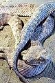 060-Afei Qom مار افعی، از مارهای بومی منطقه قم (Vipera).jpg