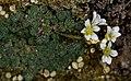 1024 Saxifraga cochlearis, Arktisch-alpiner Garten Chemnitz-0985.jpg