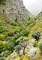 1 Fan Aloe trees in Western Cape mountains - South Africa.jpg