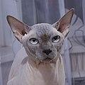 1 adult cat Sphynx. img 004.jpg