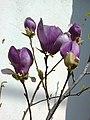 2. Bucuresti, Romania. O Magnolie minunata inflorita. Este totusi Primavara. 20.03.2020. Detaliu.jpg