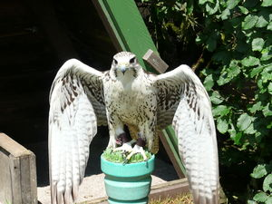 Coat of arms of Ukraine - White gyrfalcon, possibly the prototype of Ukraine´s trident