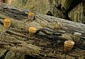 2012-08-13 Crucibulum laeve (Huds.- Relh) Kambly 248885 crop.jpg