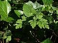20120701Chaerophyllum temulum5.jpg