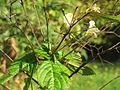 20131019Impatiens parviflora2.jpg